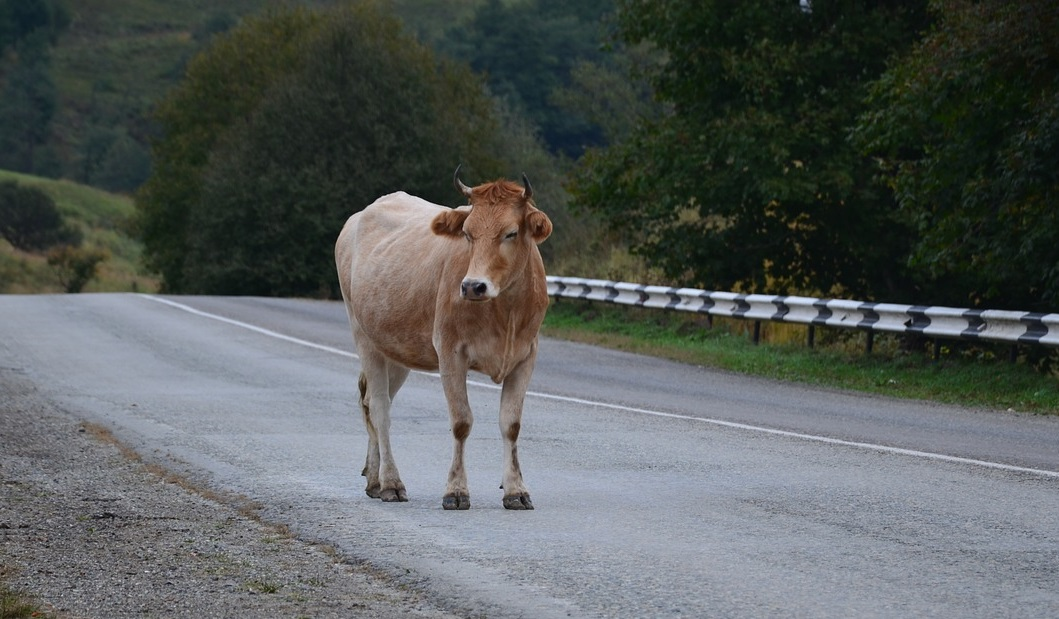 a-cow-on-the-road.jpeg